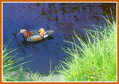 Mandarin (josiebriggs54) Tags: water birds spring yorkshire mandarinduck birdwatching yorkshiredales riverwharfe