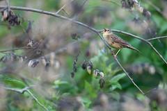 Grasshopper Warbler - Locustella naevia (L.Mikonranta) Tags: bird nature birds canon finland eos is 300mm l 5d grasshopper usm f28 ef warbler mkii markii konnevesi naevia canonef300mmf28lisusm locustella canoneos5dmarkii westernfinland 5d2 5dii 5dmkii canoneos5dmkii 5dmk2 5dmark2 canoneos5dmark2 pensassirkkalintu copyrightlm locnae