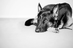 (petricore) Tags: summer dog white black 50mm blackwhite shepherd days lazy german f18 germanshepherd gsd germanshepherddog d90