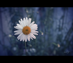 A Flower with Bokeh (Photofreaks [Thank you for 2.000.000 views]) Tags: flowers blue orange white yellow spring bokeh blossoms marguerite margeriten adengs wwwphotofreaksws shopphotofreaksws