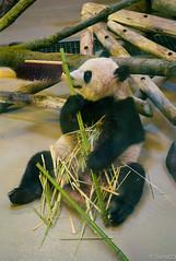Cute panda sniffing (Sacha 2D) Tags: leica toronto ontario canada animals zoo panda pandas torontozoo leicam8 leicaelmarm50mmf28 lensblr photographersontumblr