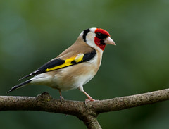 European Goldfinch (Mukumbura) Tags: red england brown white black bird nature crimson yellow garden gold goldfinch finch fringillidae cardueliscarduelis europeangoldfinch