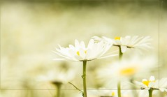 Daisies -field (Pana53) Tags: margeriten pana53 flickrsfinestimages1 flickrsfinestimages2 flickrsfinestimages3 photographedbypana53