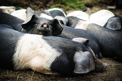 Sleeping Hogs (Mad_m4tty) Tags: baby cute animal pig open farm sunday organic piglet hog farmyard swillington