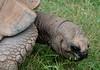 Giant tortoise (Adventurer Dustin Holmes) Tags: animal animals eating tortoise grazing zooanimal gianttortoise eatingsomegrass eatinggrass dickersonparkzoo chewinggrass chewingongrass