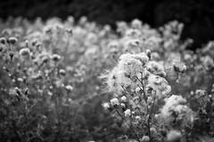 the Miss Havisham convention (Ray Byrne) Tags: blackandwhite bw weeds monotone brides thistles thistledown jilted raybyrne unfashion misshavisham byrneoutcouk webnorthcouk