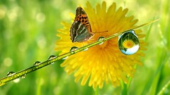 Rain-Drop-Butterfly (vinod_pednekar) Tags: