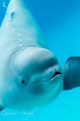 Beluga Pup (gauravs82) Tags: baby white fish animal swim marine young arctic whale curious aquatic pup beluga playful blubber