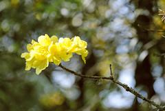 (Brenda Morsch) Tags: flowers flores nature yellow nikon bokeh natureza sigma 70300 d3000