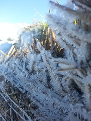 Crystalised 2 (Cell Shocked) Tags: pictures new winter ice frozen amazing phone cell straw canterbury zealand shocked crystalised shcoked