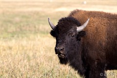 Teton Bisons (eds.photo) Tags: buffalo wildlife bison grandtetonnationalpark antelopeflats