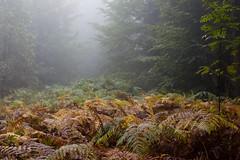 Fürstenwald (qitsuk) Tags: autumn fern fall weather fog switzerland chur graubünden graubuenden fürstenwald fuerstenwald