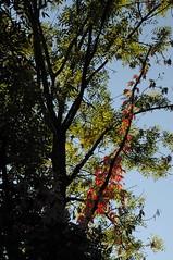Weinrausch! Wilder Wein, Jungfernrebe (Parthenocissus quinquefolia); an der L431 bei Hameln 6 (Chironius) Tags: autumn germany deutschland herbst herfst alemania otoo vitaceae autunno allemagne hst germania gegenlicht jesie weserbergland  niedersachsen vitales badpyrmont rosids   efterret weinrebengewchse weinrebenartige