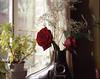 Fujichrome Astia Roses 1 (triebensee) Tags: film iii large slide f45 4x5 linhof format schneider kreuznach xenar postive 150mm technika fujichromeastia100rap