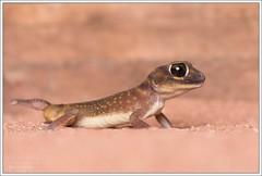 Nephrurus stellatus (Thor Hakonsen) Tags: gecko gekko reptil reptilia squamata gekkonidae øgle nephrurusstellatus stellatedknobtailedgecko