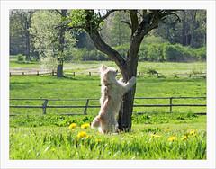 Tanz in den Mai (BegMeil44) Tags: dog chien tree hund arbre printemps baum springtime schleswigholstein frhling bergerdespyrnes labrit gripik schlosswotersen pyrenenhtehund