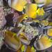 Feasting Butterflyfish