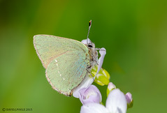 Green Hairstreak (Crazybittern1) Tags: greenhairstreak sigma70300mmmacro nikond7000