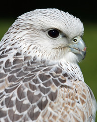 5/8 Gyr X Saker Falcon (Buggers1962) Tags: portrait bird nature face animal closeup canon eyes close bokeh feathers raptor falcon colchester birdsofprey birdofprey autofocus gyrfalcon sakerfalcon fantasticnature avianexcellence colchestercastlepark simplysuperb itsazoooutthere canon7d thewonderfulworldofbirds faunayfloradelmundo birdperfect