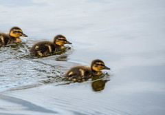 Huey, Dewey, and Louie (gynsy75) Tags: nature birds animals espoo wildlife and mallard floraandfauna fglar djur birdlife grsand suomenoja djurochnatur suomeojanlintualtaat