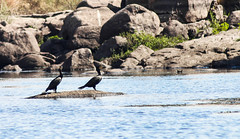 Birds of the nile-16 (osamaalipl) Tags: naturaleza bird nature water beautiful beauty birds rock canon river agua rocks colorful great egypt nile granite cormorant egipto riverbank aswan pjaro  nilo granito hardlight      eos70d osamaali
