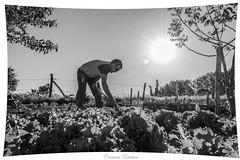 Atardecer entre lechugas (-Instantes- kris) Tags: sunset bw sol atardecer orchard bn lettuce perspectiva 1855 gardener vegetales huerto cavar lechugas hortelano d3300 cristinaesteban