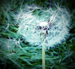 Dandelion wish (σℓγα ƸӜƷ) Tags: flower nature magic puff sunny blow dandelion chilling moment springtime makeawish