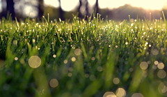 fresh start (joy.jordan) Tags: light grass sunrise spring bokeh dew