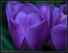 With just a little Purple Imperfection (Audrey A Jackson) Tags: colour nature petals purple tulip walsall canon60d fourseasonsgarden