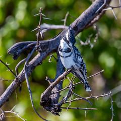 Male Pied Kingfisher @ Chobe National Park (x_tan) Tags: africa northwest botswana kasane piedkingfisher choberiver cerylerudis chobenationalpark canoneos5dmarkiii canonextenderef14xiii canonef100400mmf4556lisiiusm