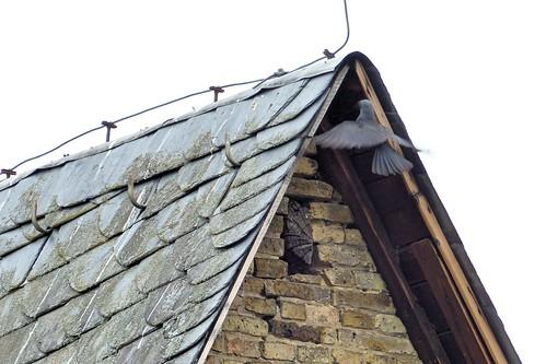 Über dem Turmfalkennest noch ein Rabennest (kath. Kirche Selzen)