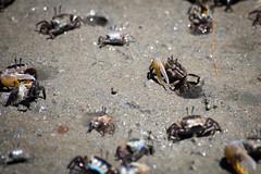 Krabi Town Crabs (virtualwayfarer) Tags: thai thailand visitthailand asia southeastasia crab crabs crabarmy sand fiddlercrap soldiercrab railaybeach railay krabitown krabi smallcrabs travel traveling travelphotography thingstosee visittothailand canon canon6d travelphotographer travelinspiration lifestyleinspiration