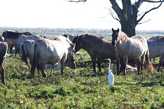Oostvaarders 16okt16 logo14 (natas0320) Tags: oostvaardersplassen horses horsesinthewild wildhorses vox flevoland nieuwland lelystad netherlands holland thenetherlands nature natureonyourdoorstep natureinmybackyard naturelovers takingpictures takingphotos