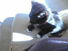 Kitten with white paws (Mimsy Frood) Tags: foster kitten cat tuxedo