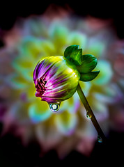 Dewdrop and Dahlia..... (P C Chang) Tags: pcchang dahlia autumn flower garden bloom bud blossom red purple green dewdrop raindrop misty