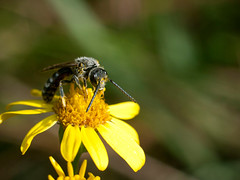 Bee on a Flower (andsem) Tags: bee insect bug flower yellow antennas nature