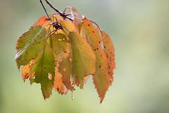 les feuilles du merisier (mrieffly) Tags: feuillesdautomne merisier bokeh canoneos50d 100400issriel
