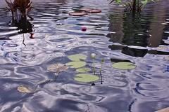 IMG_5132 Water Lilies (valentinarik) Tags: waterlilies
