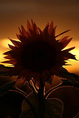 Sunset Sunflower (Derbyshire Harrier) Tags: garden sunset derbyshire 2016 sunflower autumn holmesfield yellow dusk evening macro 105mm silhouette