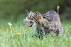 Scottish Wildcat - Felis silvestris (sfrancis23) Tags: scottish wildcat felis silvestris cat feline nature wildlife green grass snarl teeth whiskers flower uk nikon d5 70200mm