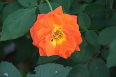 Rosa Today Maccompu (douneika) Tags: rosa today maccompu rosaceae