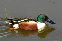 (Enllasez - Enric LLa) Tags: aves aus bird ocells pjaros deltadelllobregat necs patos