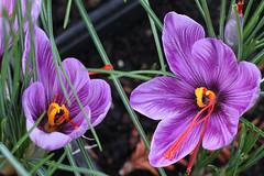 Crocus sativus (J. Shejbal) Tags: saffron crocus zafferano