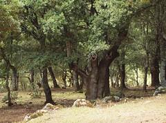 Quercus ilex / Steineichenwald (Rüdiger Þór) Tags: steineiche