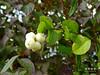 Schneebeeren (Symphoricarpos) -  snowberries (warata) Tags: 2016deutschlandgermanysüddeutschlandsoutherngermanyschwabenswabiaoberschwabenupperswabiaschwäbischesoberlandbadenwürttembergillerderflussriverlandschaftlandscapeflusslandschaftpflanzestrauchshrubschneebeeresymphoricarpos blume pflanze wildblume wildkraut staude