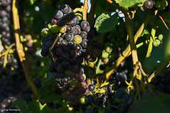 September Grapes...just before the harvest (2/2) (greg luengen) Tags: grapes weintrauben fall harvest herbst autumn nature natur sony sonyalpha nex plants