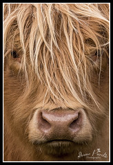 Highland Cow (Irene Purdie) Tags: highland cow cattle scotland trossachs