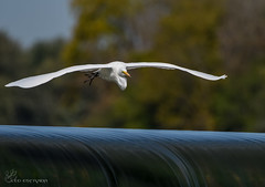 Great Egret in flight. (Estrada77) Tags: birds wildlife water nikon 200500mm great egrets