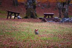 Fall encounters (luigig75) Tags: fox volpe montagne wood bosco beechwood parconaturaleregionalemontisimbruini lazio montelivata 70200f4l canonef70200mmf4lusm 70d italia italy