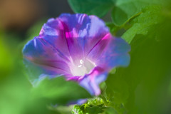 Faded Glory... (zoomclic) Tags: canon closeup colorful 5dmarkii tse90mmf28 12mmexttube flower foliage fall morningglory multicolor green dof dreamy bokeh plant red blue white garden zoomclicphotography